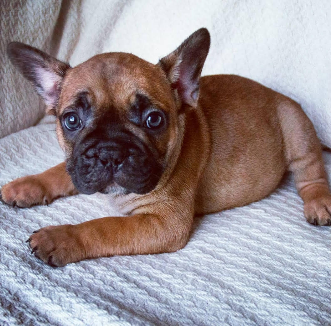 Dfw Frenchies French Bulldog Puppies Home
